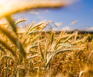 Brève histoire de la domestication des céréales
