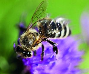 """""""Abeille"""", vous avez dit """"abeille"""" ?"""